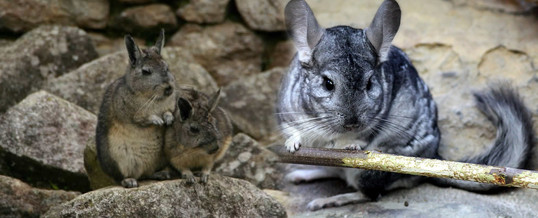 tipos de chinchillas